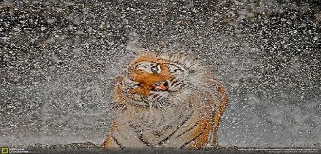 nature tigre