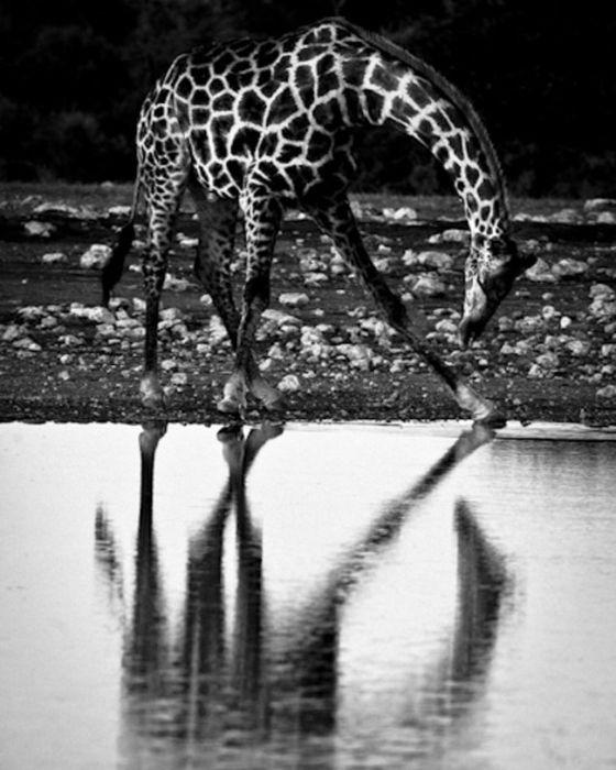 Giraffe-BAHEUX-0793_resultat