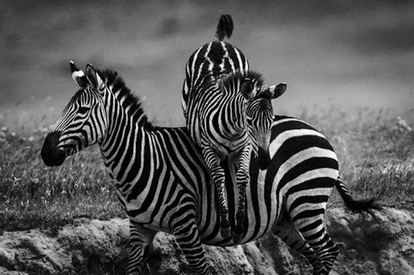 Zebra-BAHEUX-3218_resultat