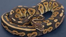 Une jambe sert d'appât pour chasser un serpent
