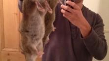 Invasion de rats géants en Angleterre