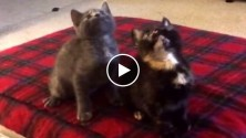 Deux chatons bougent en rythme sur «Turn Down For What»