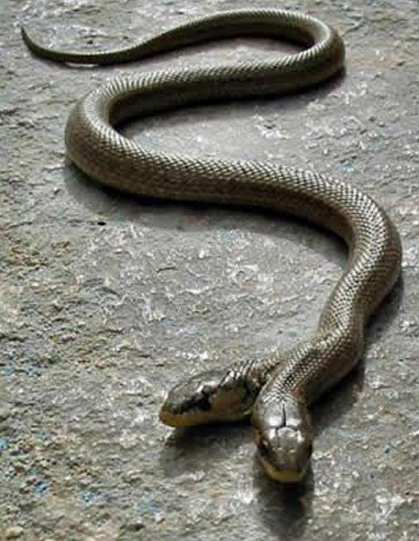 twoheaded-snake