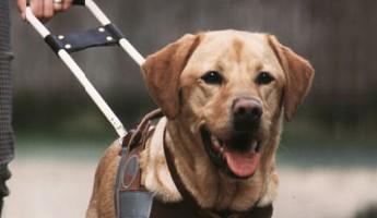 Les chiens guides d'aveugle ne sont pas encore acceptés