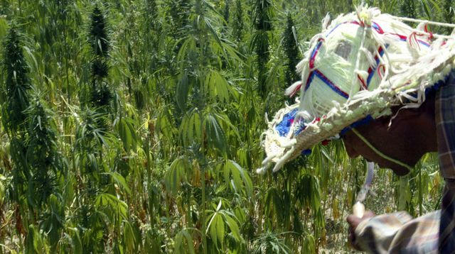 maroc-cannabis_808278