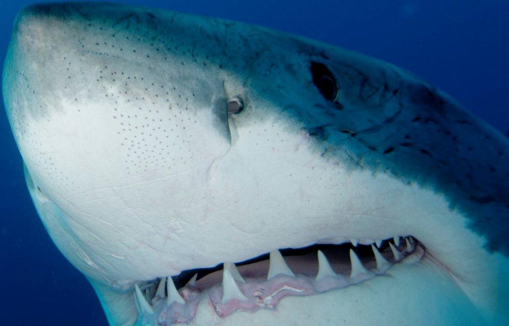 Grand-requin-blanc