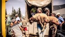 Badr Hari fait don de 200 moutons à l'occasion de Aïd Al Adha