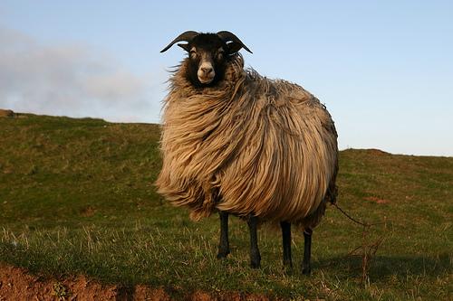 mouton-aid-adha
