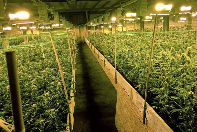 cannabis-plantation