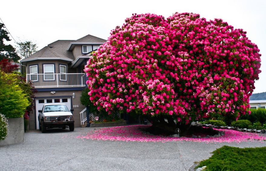 125-year-old-rhododendron-tree-in-canada
