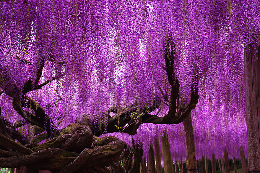 144-year-old-wisteria-in-japan