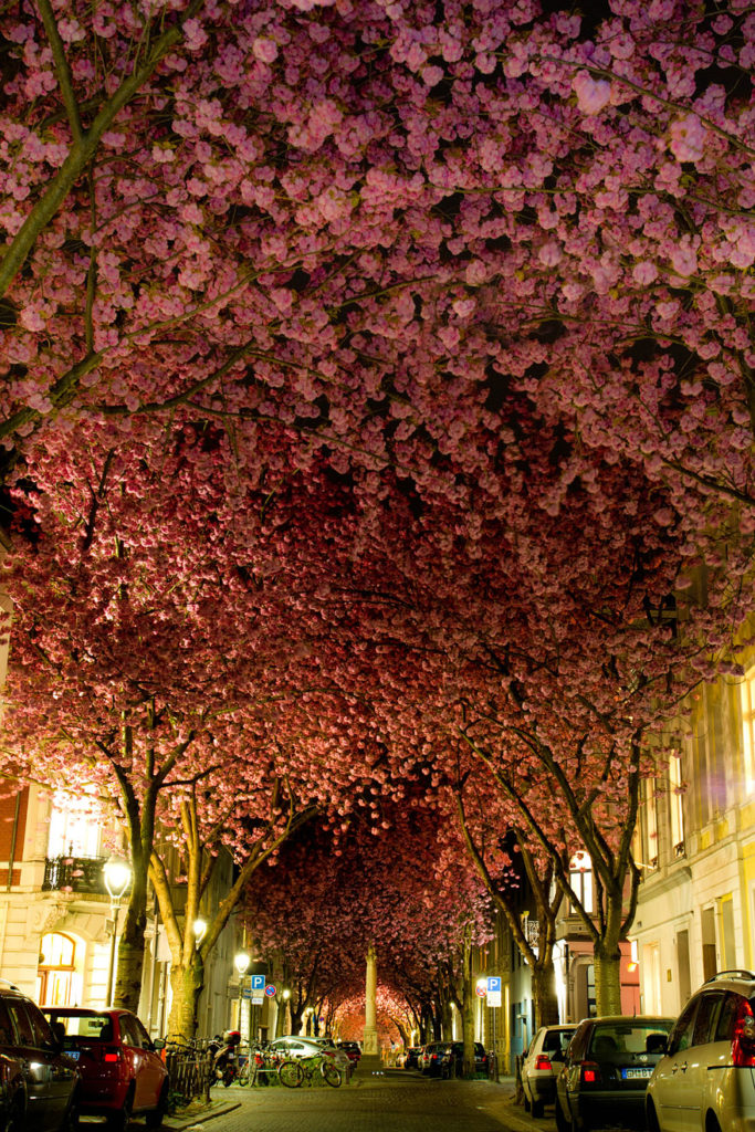 blooming-cherry-trees-in-bonn-germany