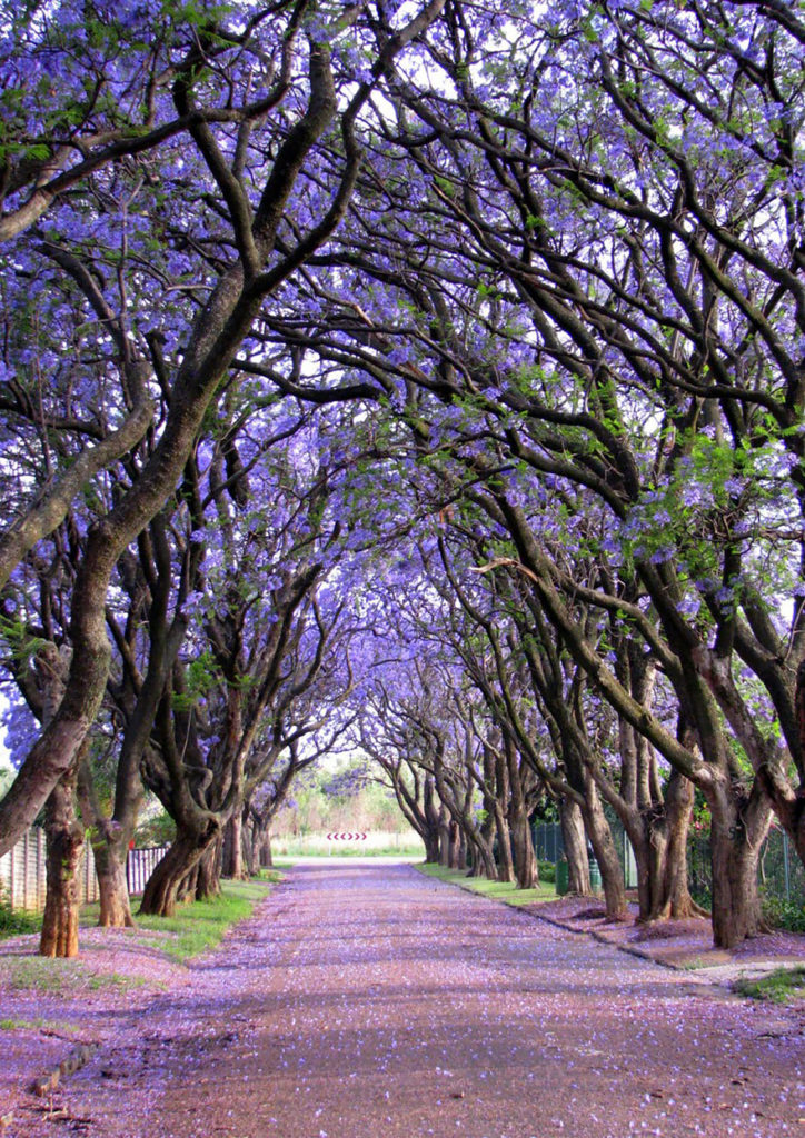 jacarandas-in-cullinan-south-africa