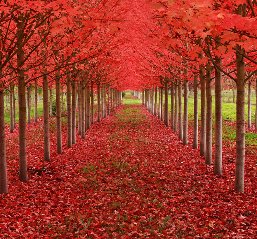 maple-tree-tunnel-in-oregon