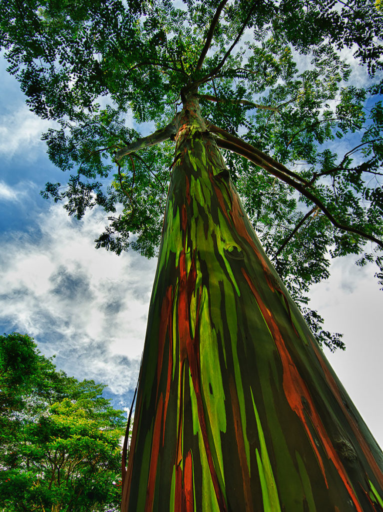 rainbow-eucalyptus-in-kauai-hawaii