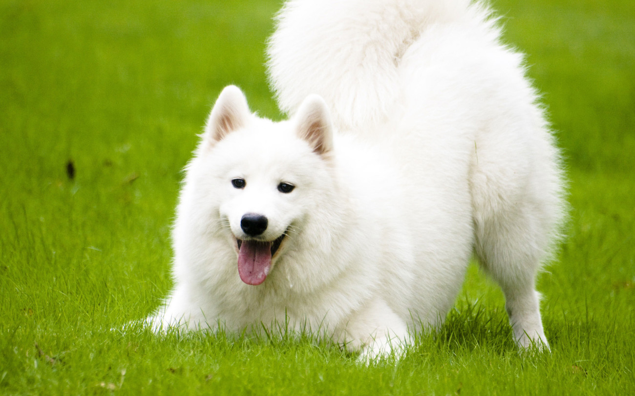 samoyed-featured