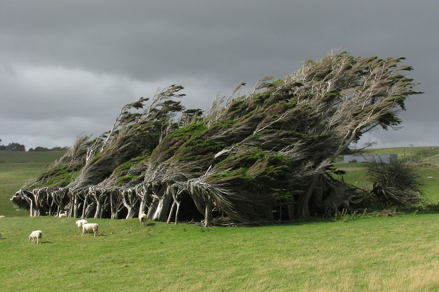 wind-swept-trees-in-new-zealand
