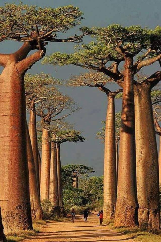 baobab-2