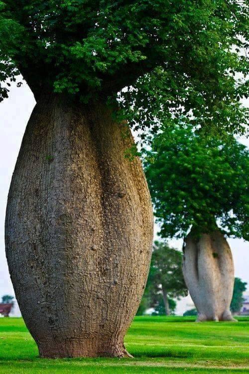 brachychiton-bottle-tree