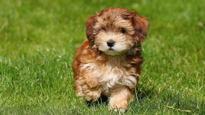 havanese-puppy-cut_327e0e687ae4a816