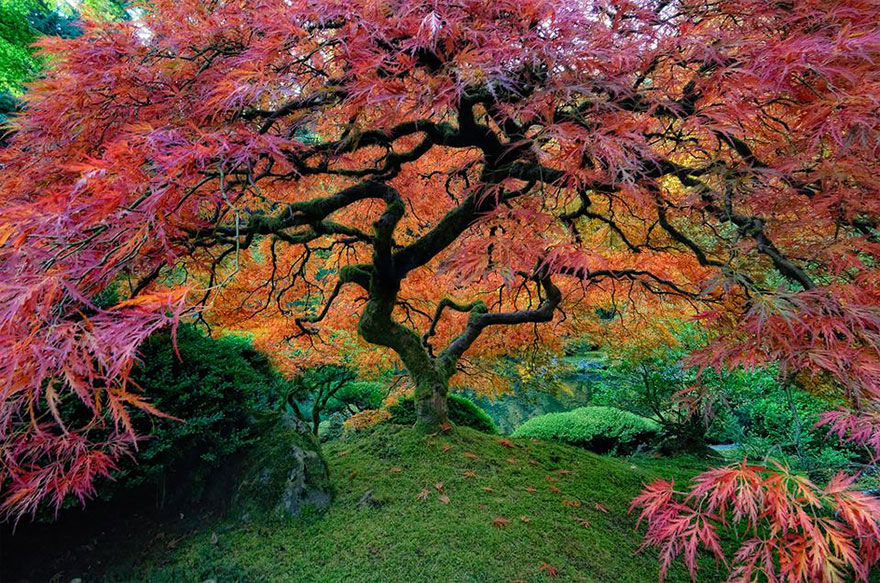 japanese-maple-portland-oregon