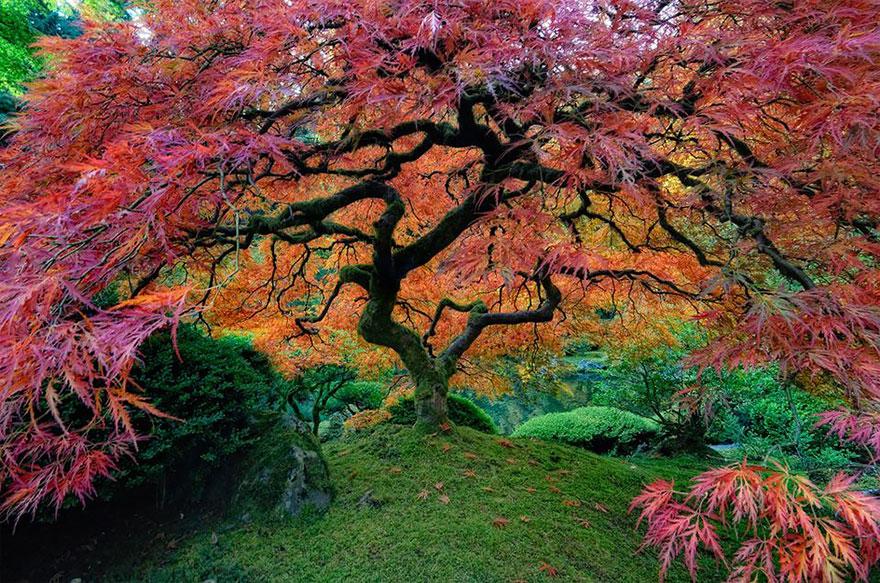 japanese-maple-portland-oregon