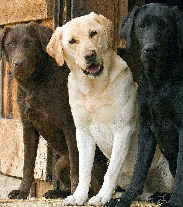 labrador-les-trois-couleurs-du-labrador_195834_w620