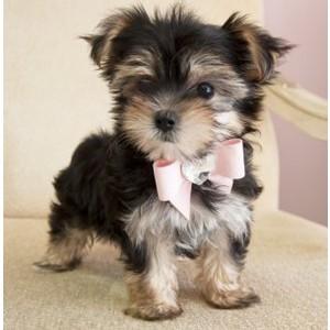 morkie-male-puppy
