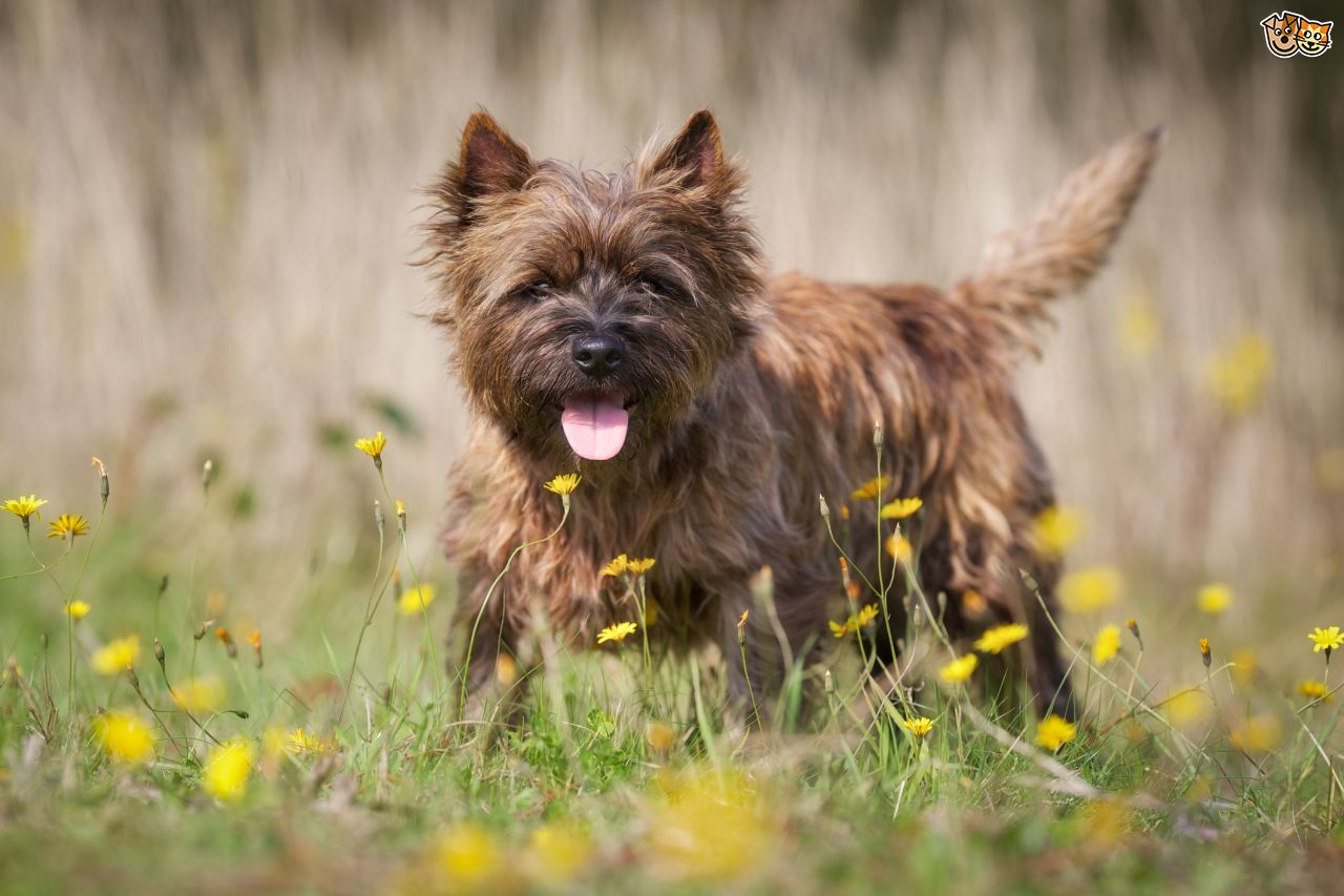 the-cairn-terrier-is-a-cute-little-dog-and-although-small-they-are-full-of-energy-and-alw-5484997eec0f0