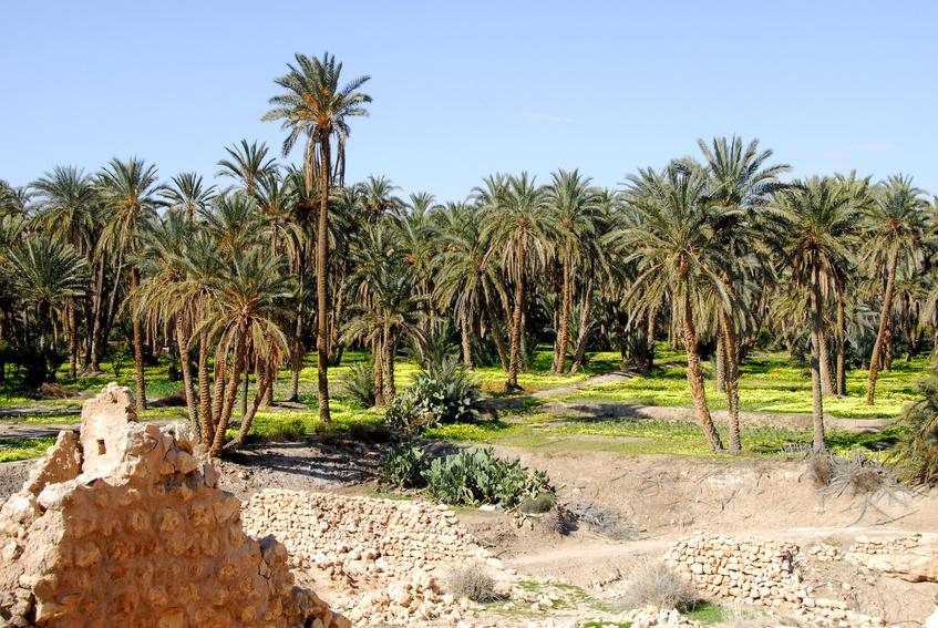 oasis de Mides, palmeraie 3
