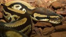 À Bab Sebta, un voyageur a tenté d'introduire illégalement des pythons au Maroc