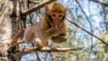 Quand un singe provoque la terreur des marocains…