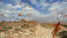 Une invasion de criquets menacerait la région de Marrakech
