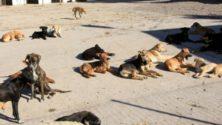 Les animaux errants du Maroc seront désormais stérilisés et vaccinés !