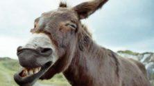Un âne vendu aux enchères, la commune de Boulemane explique la situation !