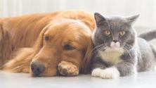 Les chats et chiens ne doivent pas être désinfectés avec du javel et gel hydroalcoolique