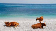 Et pendant ce temps : Des vaches envahissent la plage de Belyounech