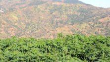 Non, le Maroc ne légalisera pas le cannabis la semaine prochaine