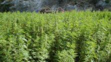 Le Conseil du gouvernement a reporté l'adoption du projet de loi sur la légalisation du cannabis
