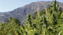 Voici les détails du projet de loi concernant la légalisation du cannabis au Maroc