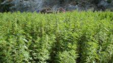 Selon une étude, 86% des Marocains seraient favorables à l'usage thérapeutique du cannabis