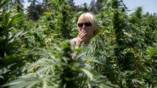 L'usage thérapeutique du cannabis enfin légal au Maroc