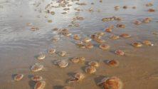 Photos : Faites attention, les méduses sont revenues sur les plages au Nord du Maroc