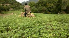 Nouvelle industrie au Maroc : usage médical et industriel du cannabis ?